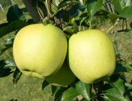 "GOLDEN DELICIOUS ""REINDERS"", kont."