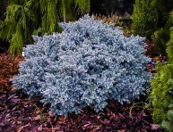 "JUNIPERUS SQUAMATA ""BLUE STAR"", C1,5"