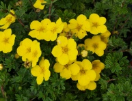 "POTENTILLA FRUTICOSA ""YELLOW BIRD"", C2"