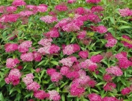 "SPIRAEA JAPONICA ""ANTHONY WATERER"", C2"
