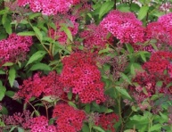 "SPIRAEA JAPONICA ""DARTS RED"", C2"