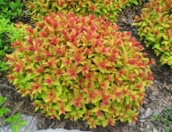"SPIRAEA JAPONICA ""GOLD FLAME"", C3"