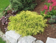 "JUNIPERUS PFITZERIANA ""OLD GOLD"", P9"