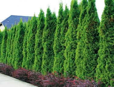 "THUJA OCCIDENTALIS ""SMARAGD"", P9"