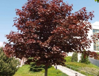 "ACER PLATANOIDES ""ROYAL RED"", C7,5, 160-220 cm"