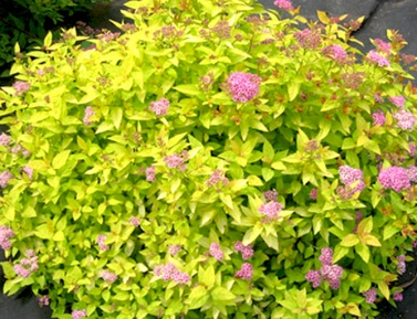 "SPIRAEA JAPONICA ""GOLDEN PRINCESS"", C2"