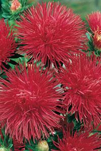 Callistephus chinensis - karmínovo červená