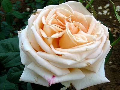 Ruža stromková biela