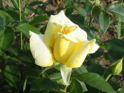 Ruža STROMKOVÁ žltá